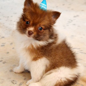 happy birthday pomeranian puppy