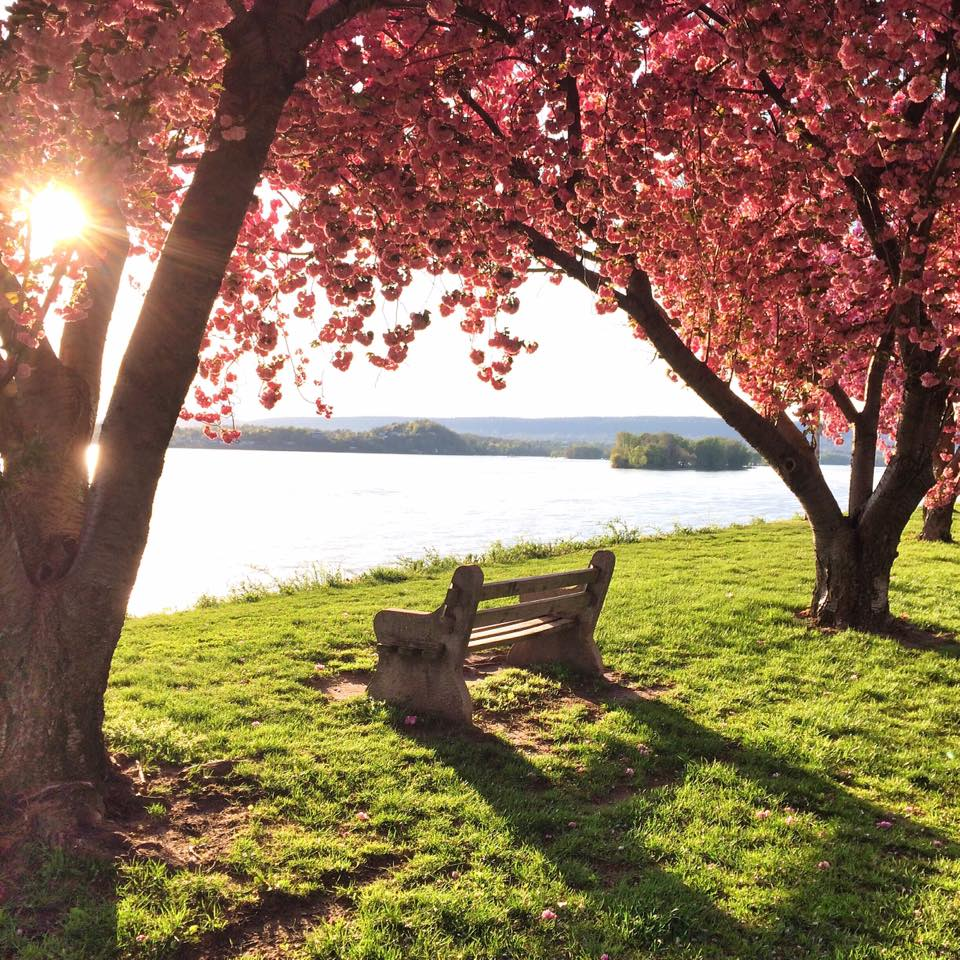 pink flowering trees by river