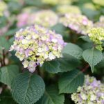 Tips for Endless Summer Hydrangeas Container Planting