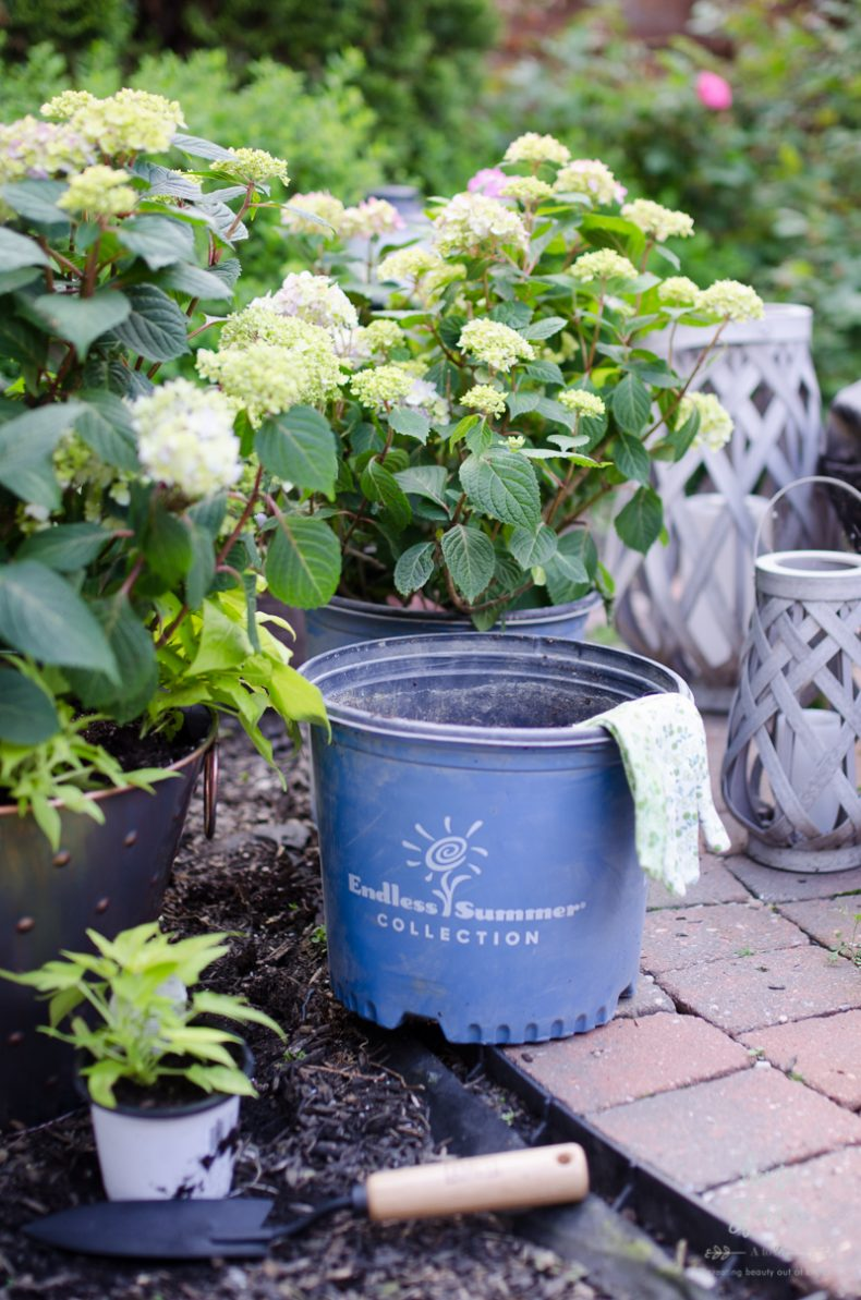 Option 1 Plant Your Endless SummerR Hydrangeas In Early Fall