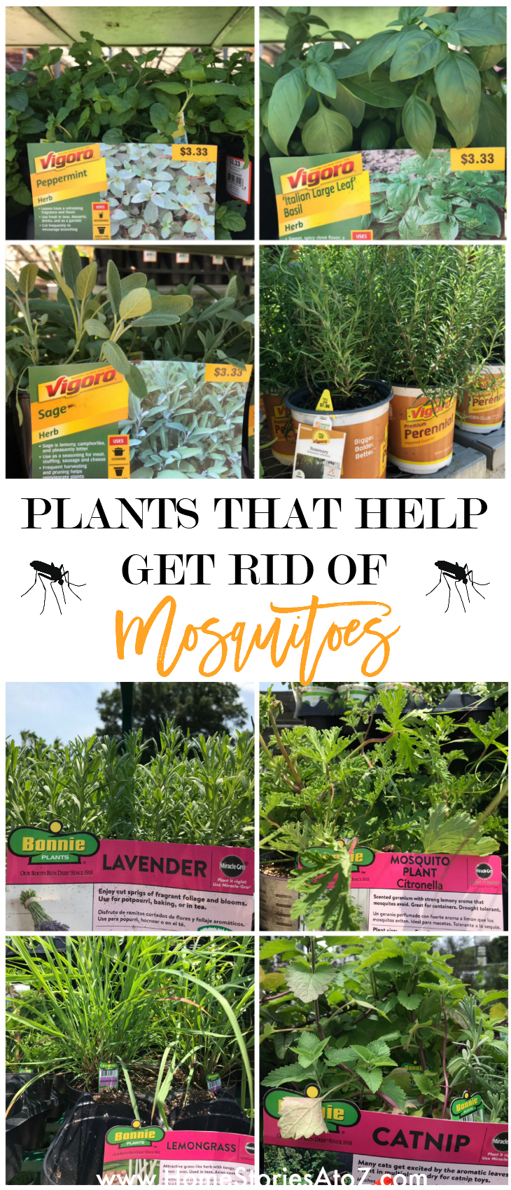 Plants that help get rid of mosquitoes - Home Stories A to Z