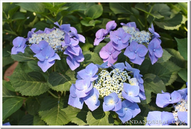 All About Hydrangeas - Choosing a Hydrangea Plant - Lacecap Variety by Sand & Sisal