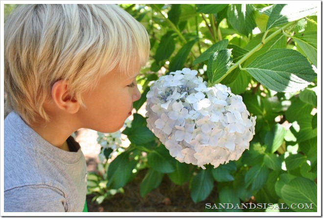 All About Hydrangeas - Choosing a Hydrangea Plant by Sand & Sisal