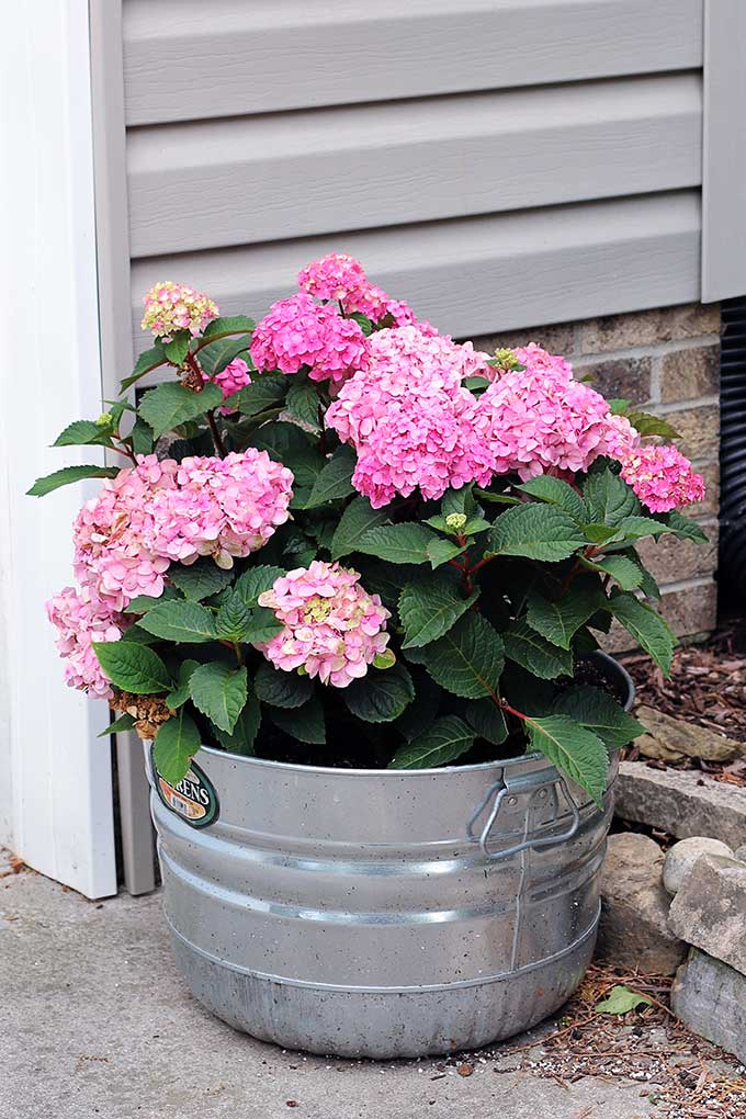 All About Hydrangeas - How to Grow Hydrangea in a Pot by House of Hawthornes