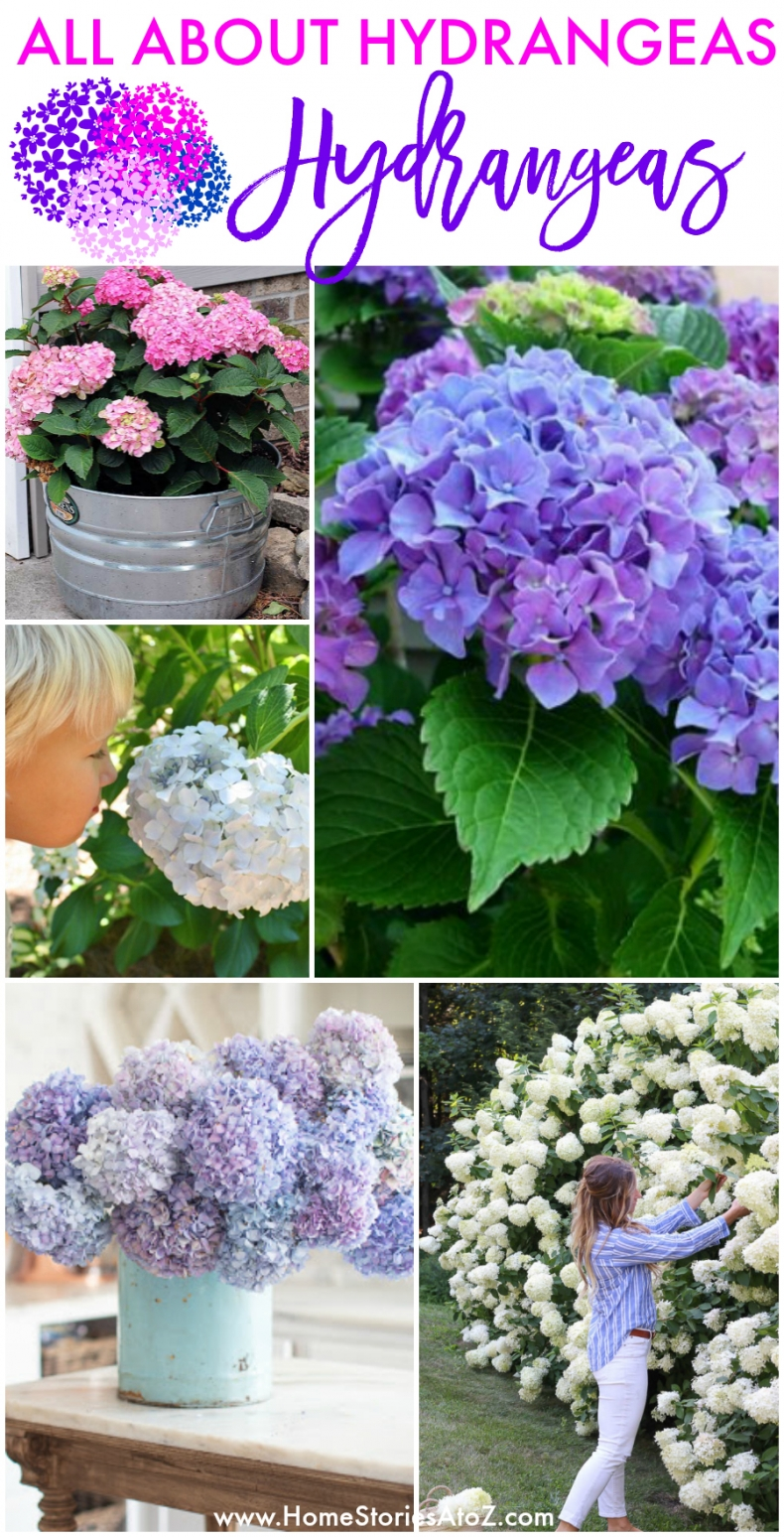 All About Hydrangeas - How to Plant, Care, and Maintain your Hydrangeas by Home Stories A to Z