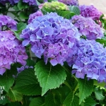 All About Hydrangeas - How to Turn Hydrangeas Pink or Blue by In My Own Style