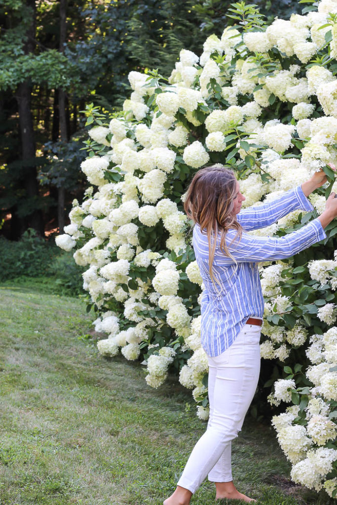 All About Hydrangeas - Planting Hydrangeas as a Hedge by Rooms for Rent Blog