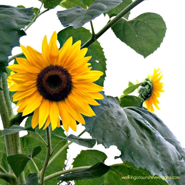 How to Grow the Prettiest Flowers - How to Grow Sunflowers by Walking on Sunshine